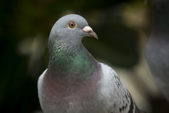 Close up beautiful eyes of speed racing pigeon bird against blur Stock Photography