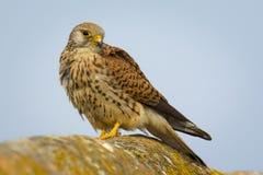 A close up of a beautiful female Lesser kestrel Falco naumanni from region Castilla-La Mancha in Spain. stock photo