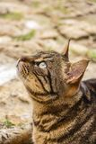 Close-up of a beautiful tabby street cat lying down on the ground, at St. Julian`s, Malta. Close-up of a beautiful female tabby street cat with tufted ears lying Stock Photography