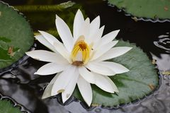 Beautiful floating white lotus attracts an insect stock photos