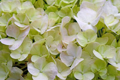 Close-up beautiful floral background green-white hydrangea flowers Royalty Free Stock Photos