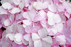Close-up beautiful floral background pink hydrangea flowers Stock Image