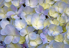 Close-up beautiful floral background Purple-yellow hydrangea flowers Royalty Free Stock Photography