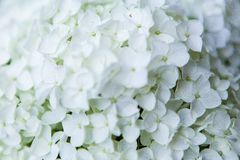 Close-up beautiful floral background white hydrangea flowers or Hydrangea macrophylla for abstract background royalty free stock photo