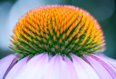 Close-up of beautiful flower Royalty Free Stock Images