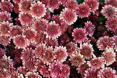 Closeup beautiful flowers background. Closeup of beautiful colorfull flower background Royalty Free Stock Photos