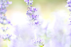 Close up beautiful flower in garden , Sage plant (lat. Salvia Officinalis) Royalty Free Stock Images