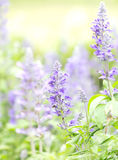 Close up beautiful flower in garden , Sage plant (lat. Salvia Officinalis) Stock Photo