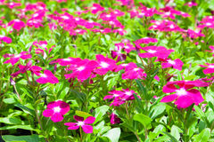 Close up beautiful  flower. Close up beautiful  flower in the park of Thailand Royalty Free Stock Photo