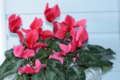 Close-up: a beautiful flower of pink cyclamen on a white wall. Concept: gardening, hobby and flower shop royalty free stock photos