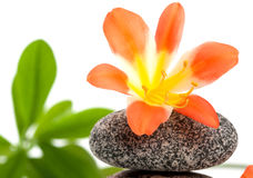A close up of a beautiful flower on the stone. Zen stones with flowers and green plant on white background Stock Photos