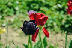 Close up of beautiful flowering black tulips in the garden in springtime. Colorful spring Background. Sunny day. Detail view of blooming tulip flowers at stock images