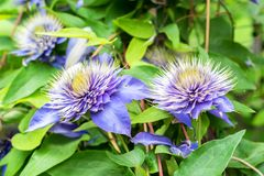 Close up beautiful flowering Clematis Jackmanii. Closeup bright blue flower of blossoming Clematis Jackmanii Stock Images