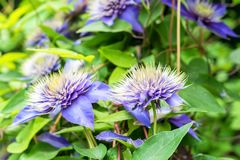 Close up beautiful flowering Clematis Jackmanii. Closeup bright blue flower of blossoming Clematis Jackmanii Royalty Free Stock Photos