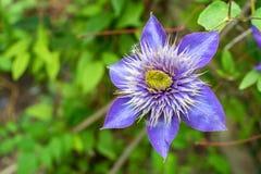 Close up beautiful flowering Clematis Jackmanii. Closeup bright blue flower of blossoming Clematis Jackmanii Stock Photos