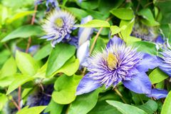 Close up beautiful flowering Clematis Jackmanii. Closeup bright blue flower of blossoming Clematis Jackmanii Royalty Free Stock Images