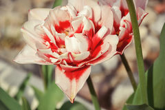 Close up of beautiful flowering red and white tulips in the garden in springtime. Colorful spring Background. Sunny day. Detail of blooming tulip flowers at stock photography