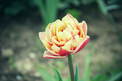 Close up of beautiful flowering red and white tulips in the garden in springtime. Colorful spring Background. Sunny day. Detail of blooming tulip flowers at stock image