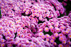 Close up Beautiful flowers of chrysanthemums, natural background Stock Images