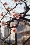 Close-up The beautiful flowers of Japanese apricot trees, plum trees in the morning sun royalty free stock photo