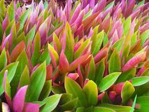 Close-up of beautiful flowers in Tradescantia spathacea Rhoeo discolor, known as Moses in the cradle. Close-up of beautiful flowers in Tradescantia spathacea royalty free stock photos