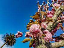Close up of beautiful fluffy pink cherry flowers on tree branches with tiny leaves, with clear blue sky background stock photo