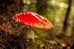 Beautiful Fly Agaric mushroom. Close up of beautiful The Fly Agaric mushroom Stock Photography