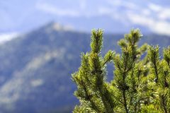 Close-up of beautiful fresh green fir- tree top on background of magnificent breathtaking peaceful blurred view of misty mountains royalty free stock photos