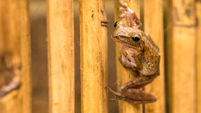 Close up of Beautiful Frog on Dry Bamboo Stick. Front Short Perspective. Koh Tao, Thailand.  Stock Photo