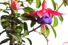 Close up of fuchsia flowers isolated against white background royalty free stock photography