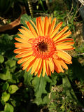 Close up of beautiful gerbera flower. On the outdoor garden Stock Photography