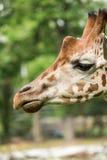 Close up of beautiful giraffe Stock Photography