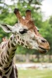 Close up of beautiful giraffe Stock Photo