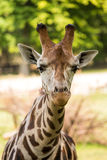 Close up of beautiful giraffe Royalty Free Stock Photos