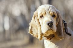 Close up of a beautiful Golden Cocker Spaniel puppy looking to the side royalty free stock images