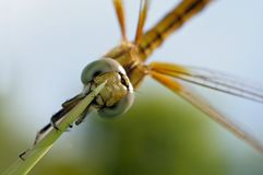 Close up of a beautiful golden dragonfly Stock Images
