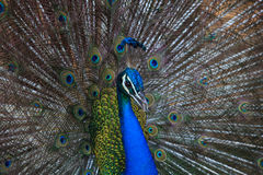 Close up beautiful of gorgeous of indian peacock fantail feather Royalty Free Stock Photo