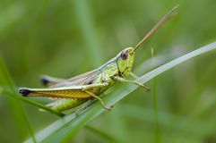Grasshopper on meadow close-up royalty free stock photos