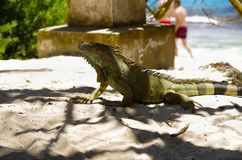 Close up of a beautiful green iguana resting over a sand in san Andres beach in a beautiful burred background.  Royalty Free Stock Photo