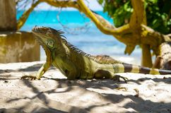 Close up of a beautiful green iguana resting over a sand in san Andres beach in a beautiful burred nature background.  Stock Photos