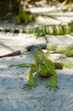 Close up of a beautiful green iguana resting over a sand in san Andres beach.  Stock Images