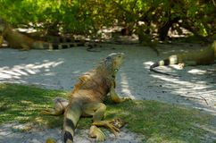 Close up of a beautiful green iguana resting over a sand in san Andres beach.  Royalty Free Stock Image
