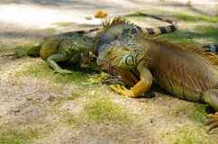 Close up of a beautiful green iguana resting over a sand in san Andres beach.  Stock Photos