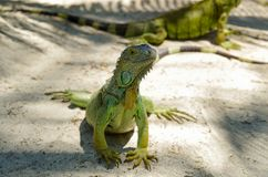 Close up of a beautiful green iguana resting over a sand in san Andres beach.  Royalty Free Stock Photos