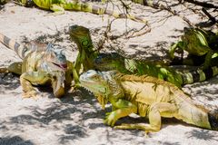 Close up of a beautiful green iguana resting over a sand in san Andres beach.  Royalty Free Stock Photography