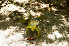 Close up of a beautiful green iguana resting over a white sand in san Andres beach.  Stock Images