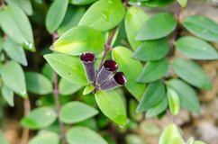 Close up of beautiful green leaf and purplish flower. Small purple flower with ivy Stock Images