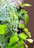 Beautiful green lichen, moss and algae growing on tree trunk. Close-up of beautiful green lichen, moss and algae growing covered on tree trunk in the garden stock photos