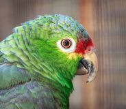 Close up of a beautiful green parrot. In a park stock photography