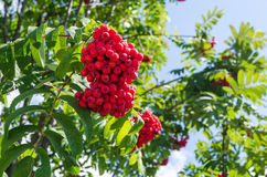 Close up on a beautiful green tree branch full of red wild berries. Royalty Free Stock Images